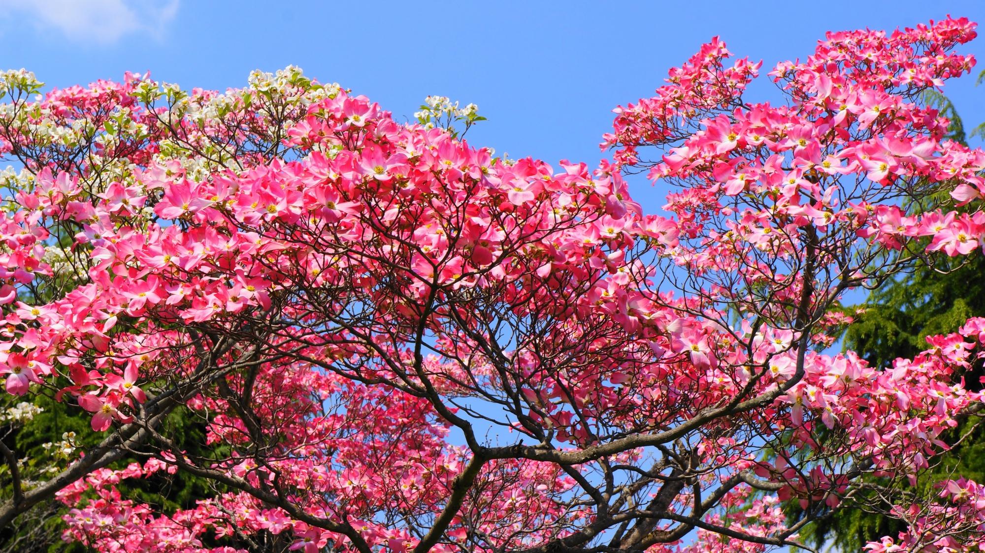 青空に映える煌くピンクのハナミズキ