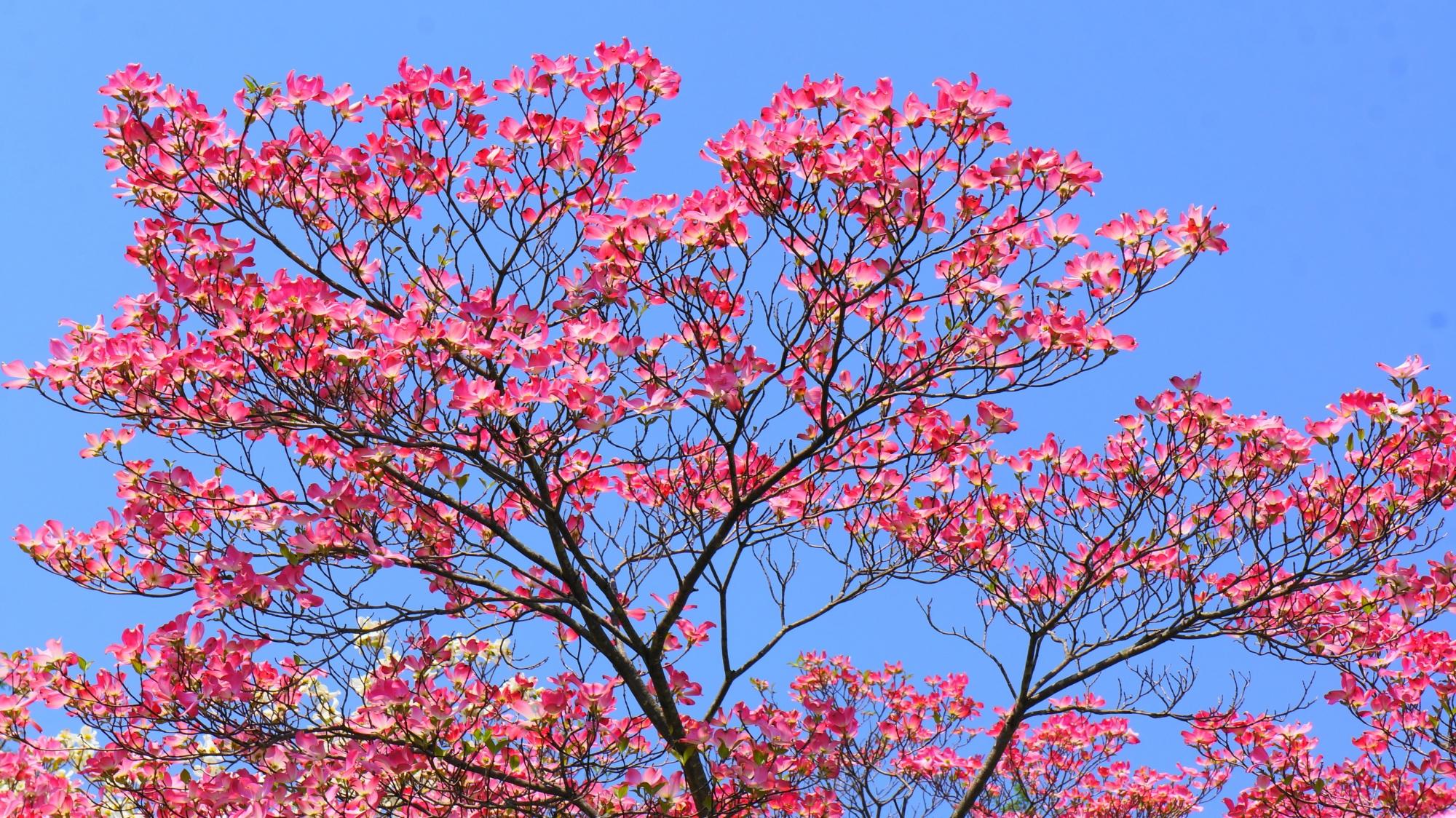 青空に透けるような美しいピンクのハナミズキ