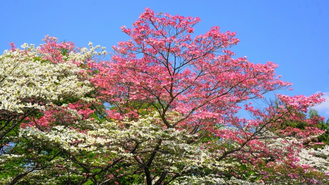 Kyoto Prefectural Library and Archives Dogwood Blossoms spring