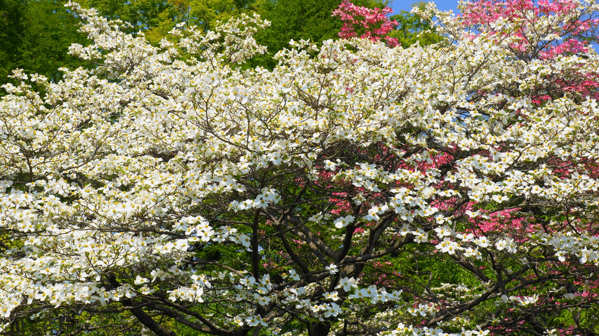 春を彩る華やかな白いハナミズキ