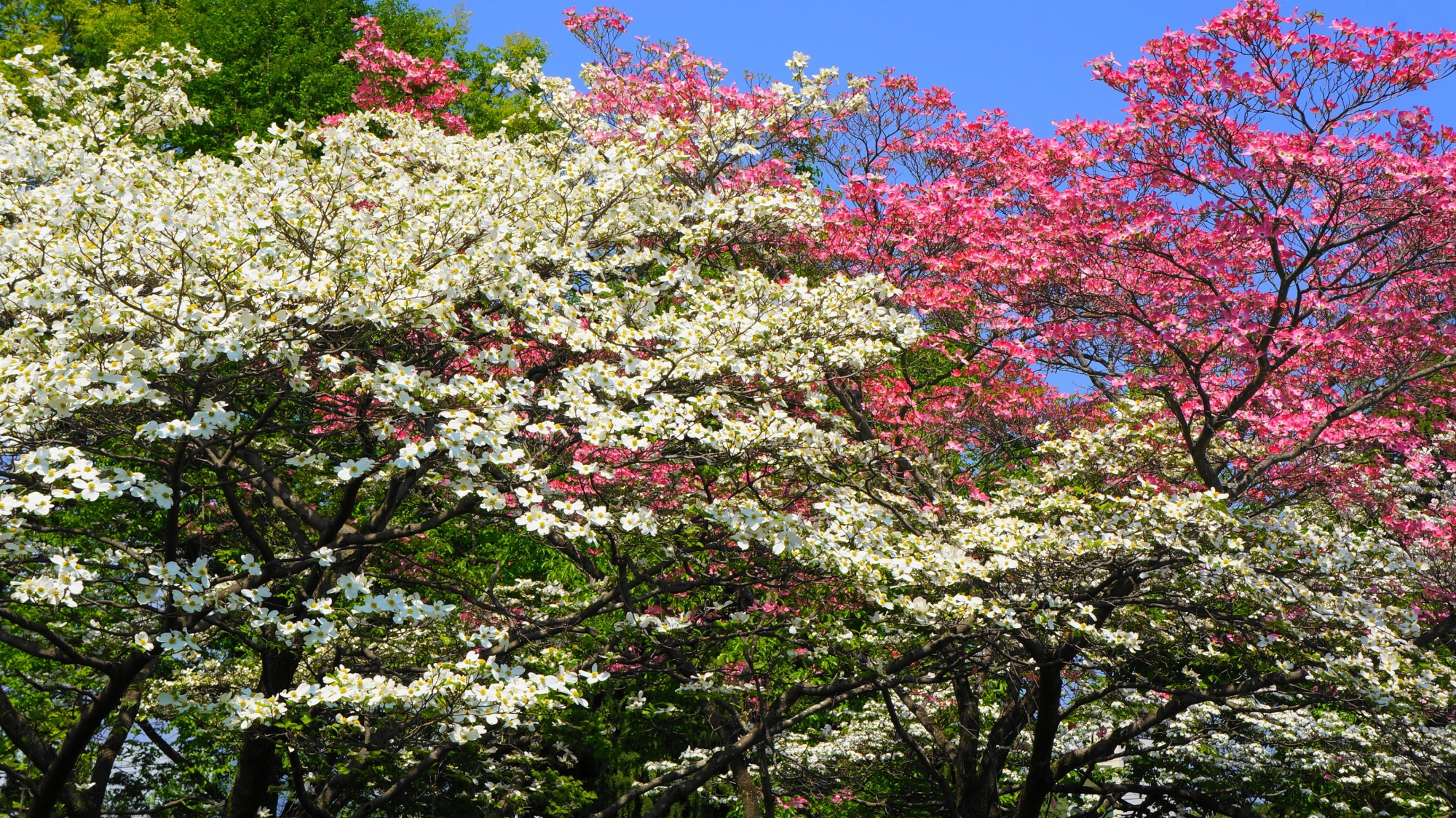 京都府立総合資料館の溢れ出す満開のハナミズキの花
