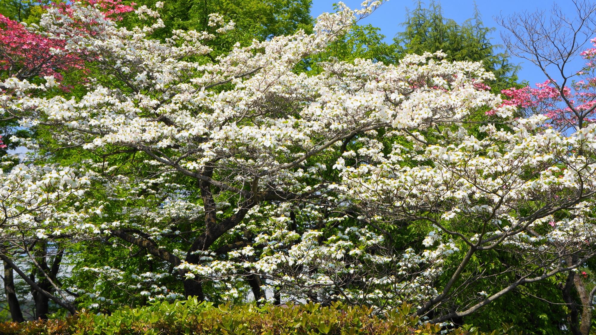京都府立総合資料館の花の密度も非常に濃い立派なたくさんのハナミズキノ木