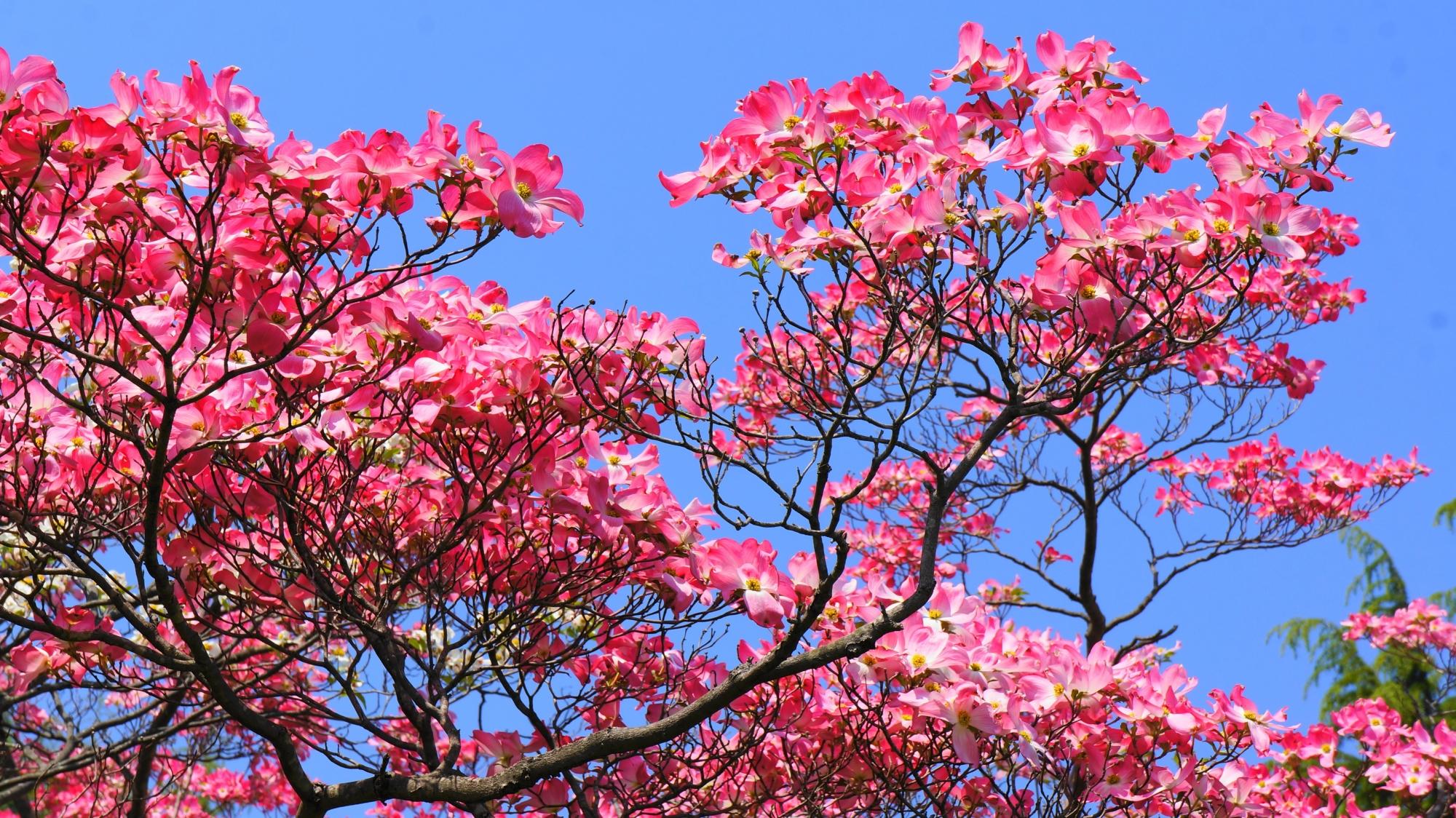 弾け飛ばんとばかりに咲き誇る綺麗なハナミズキ