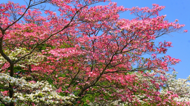 Dogwood Blossoms Kyoto Prefectural Library and Archives in spring