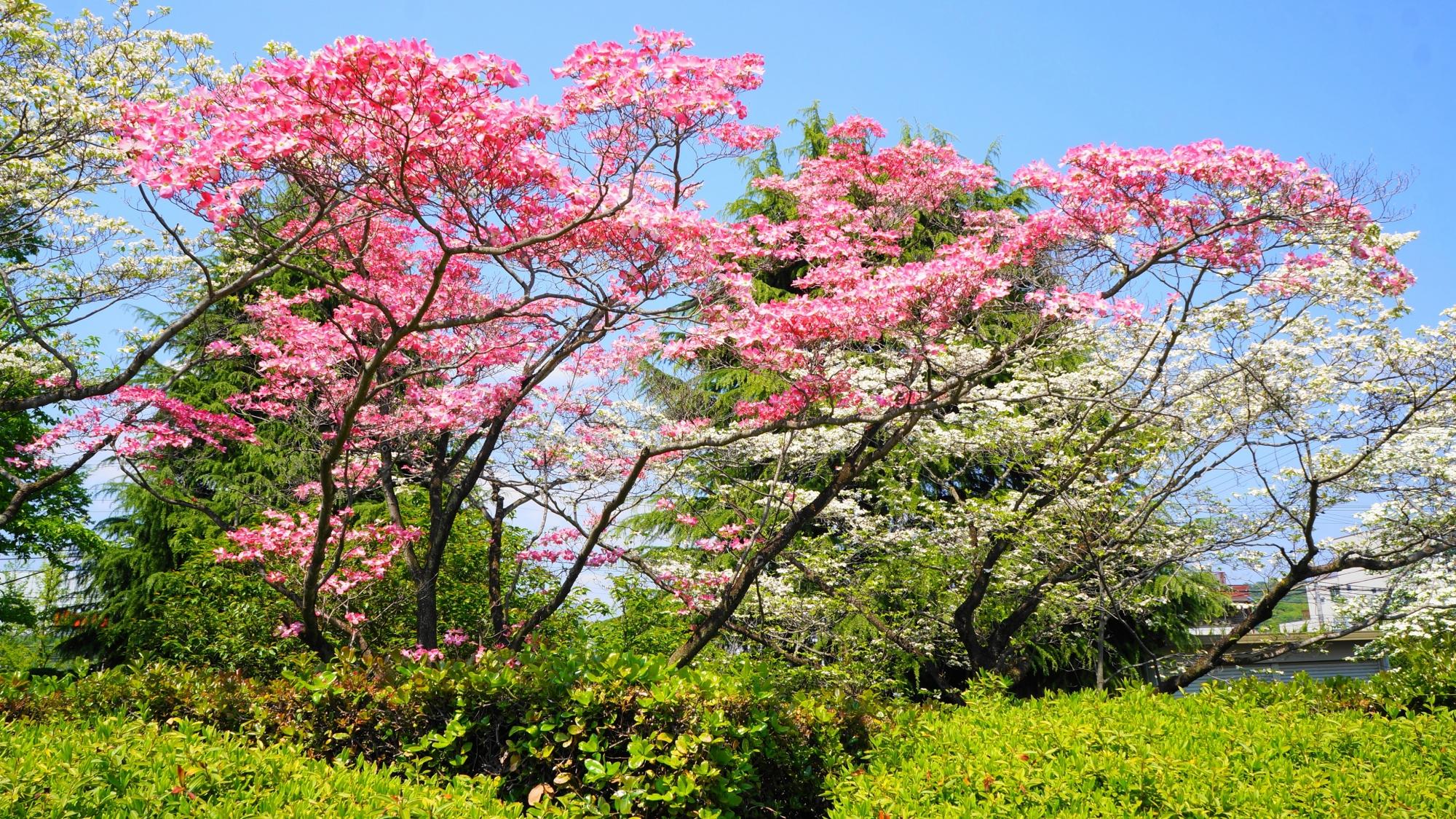 長閑な春の日を上品な色合いでつつむハナミズキ