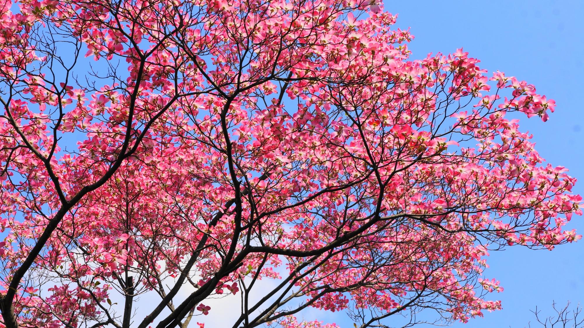 京都府立総合資料館の空を覆う圧巻のハナミズキ