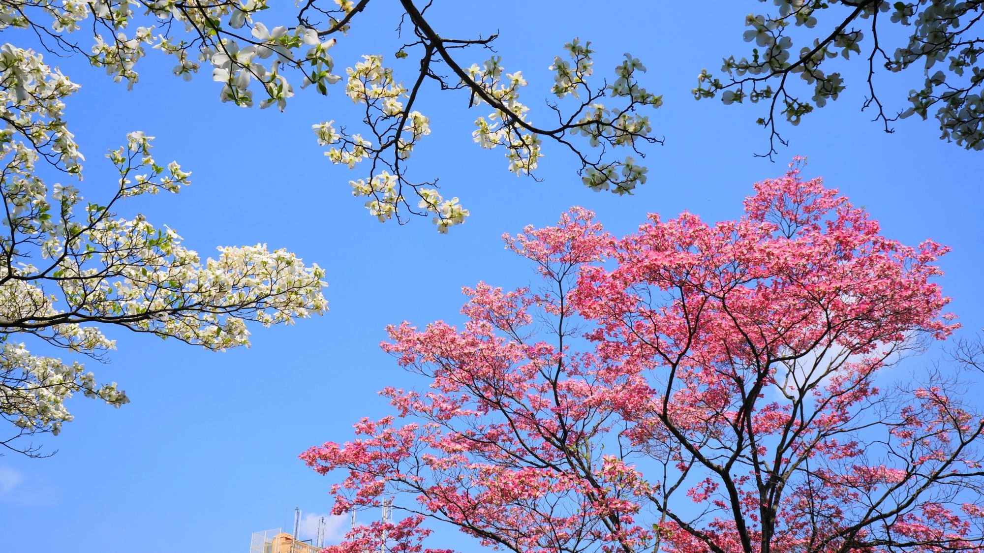 青空を染める綺麗な紅白のハナミズキ