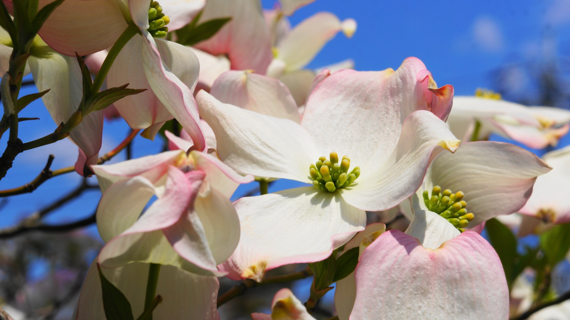 元気いっぱいに咲き誇る満開のハナミズキの花