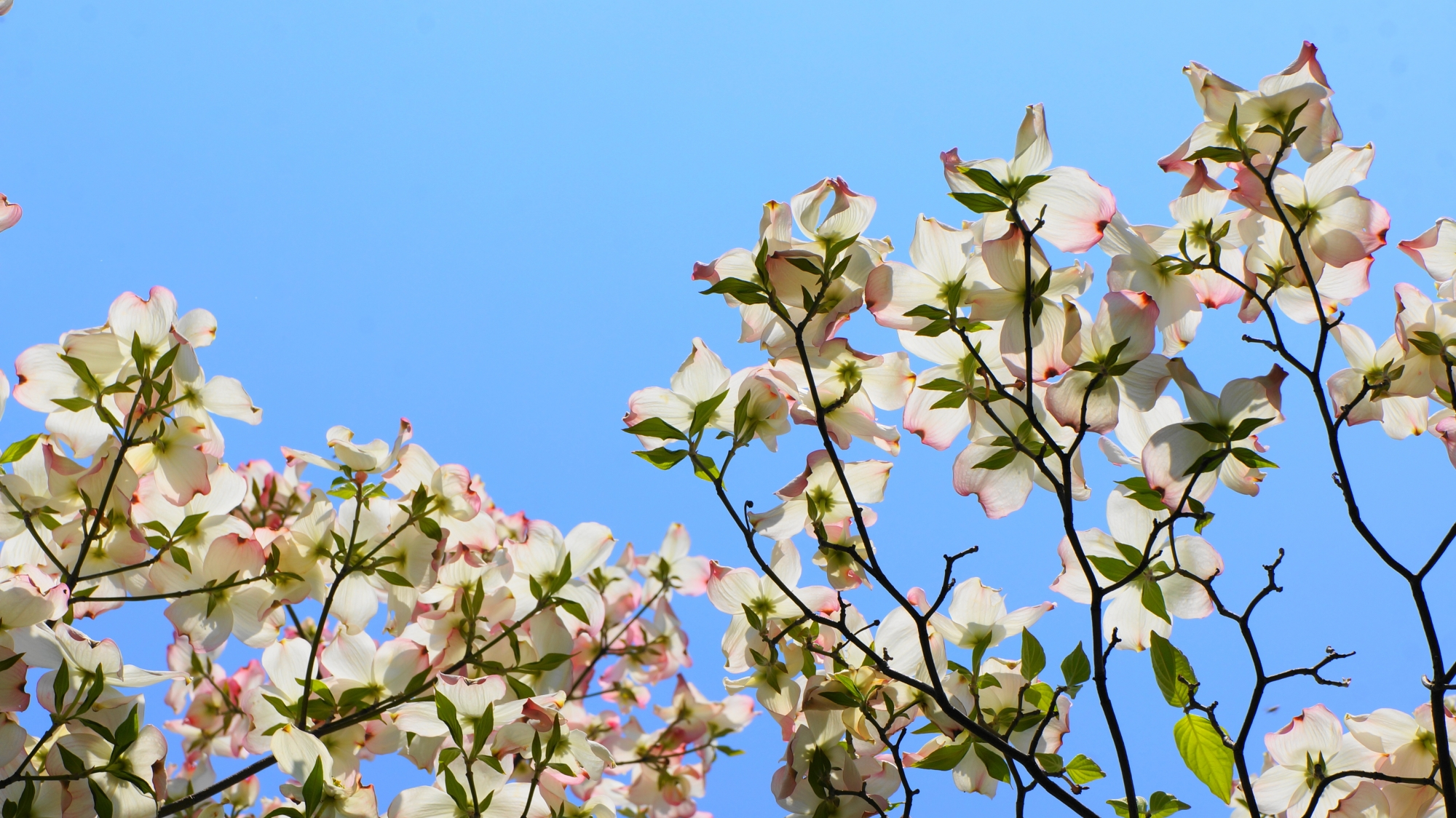 太陽を浴びて透き通る白とピンクのハナミズキ