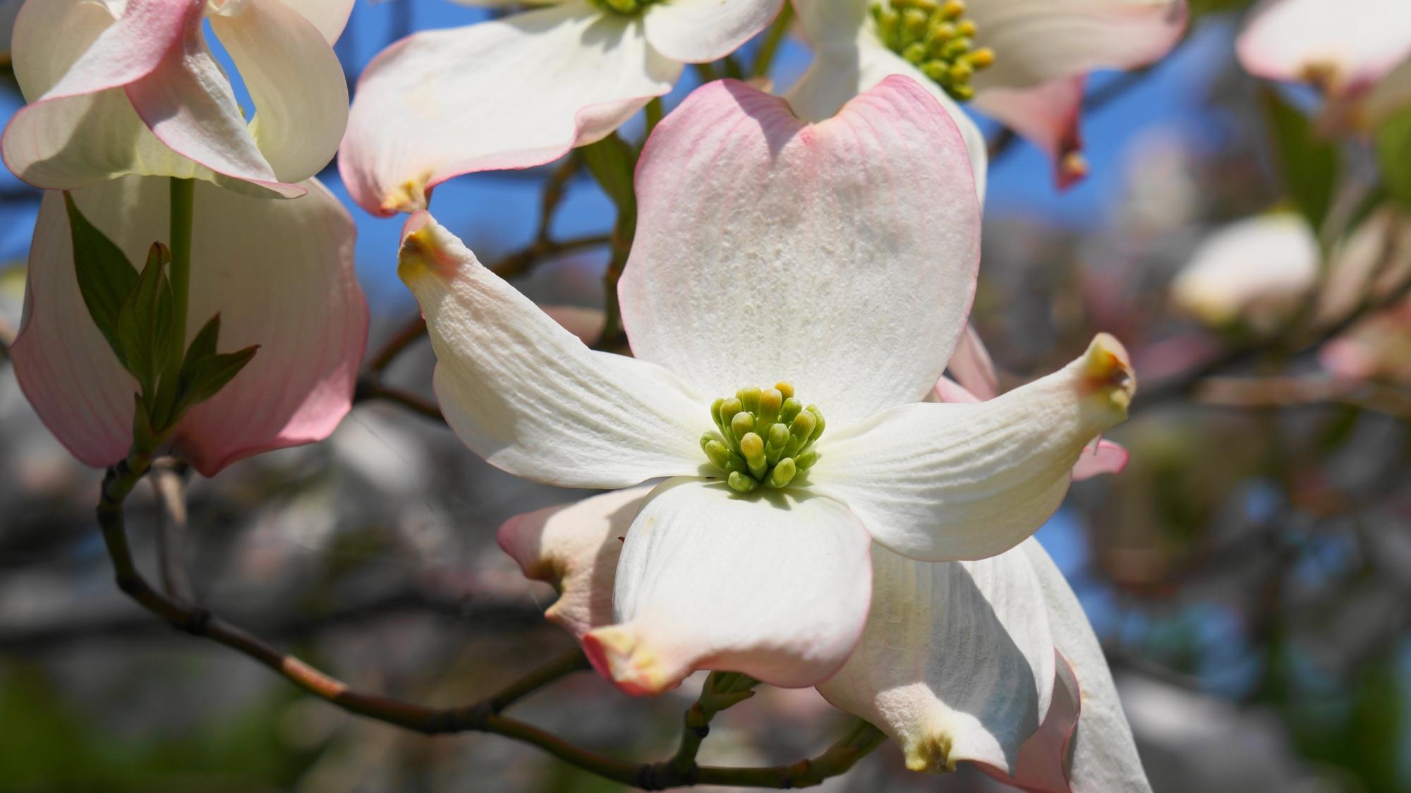 純白の花の先がほのかにピンクに染まる花見月