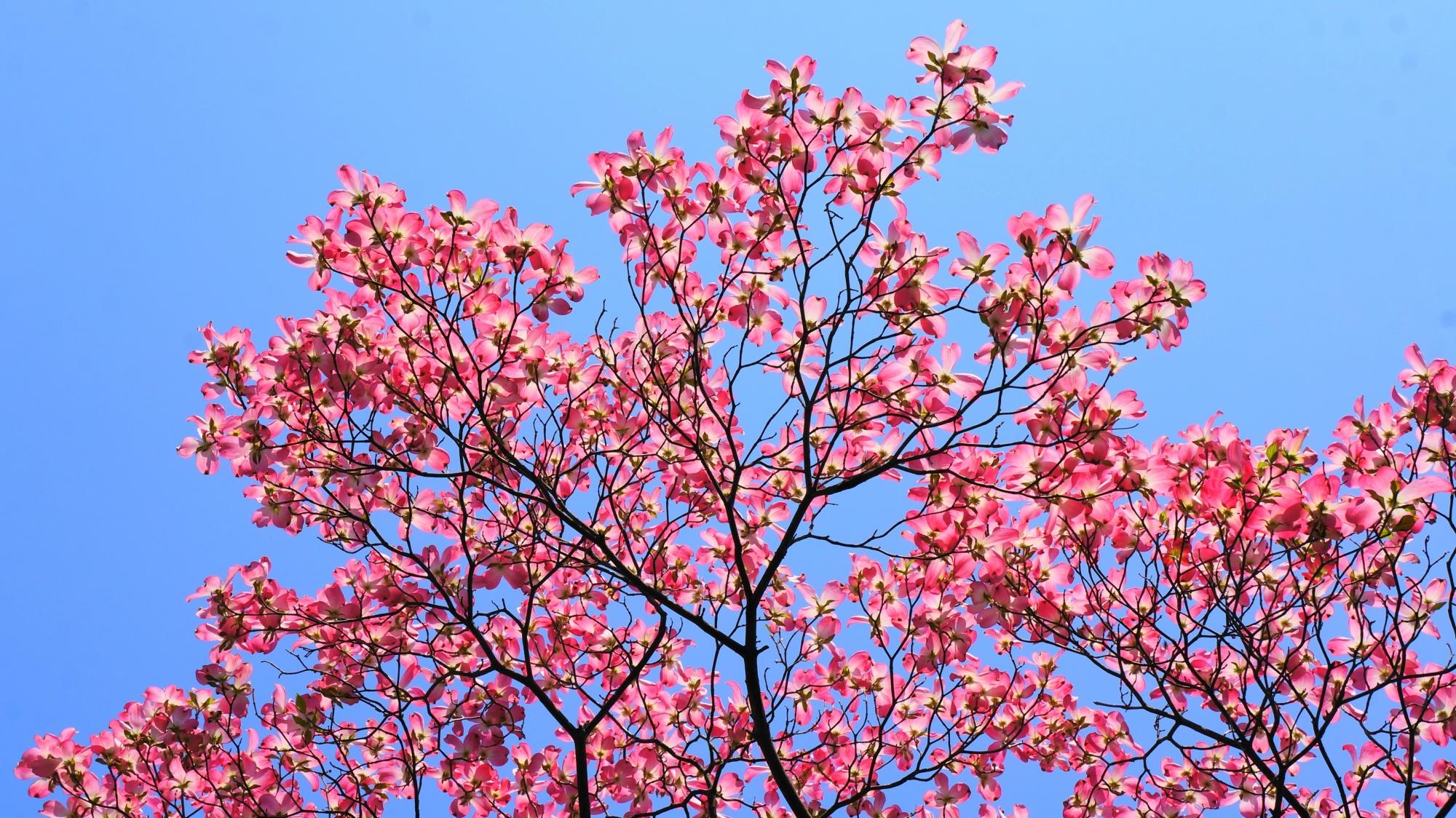 最高の青空の下で咲く絶品のハナミズキ