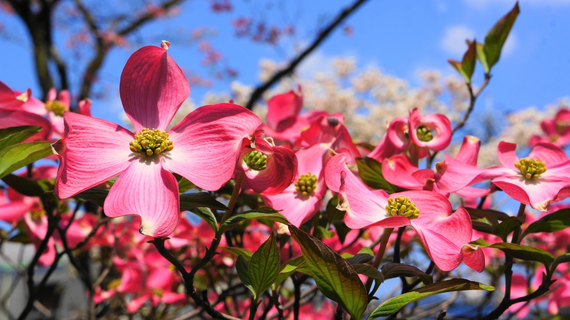 賑やかに咲き誇るたくさんのハナミズキの花