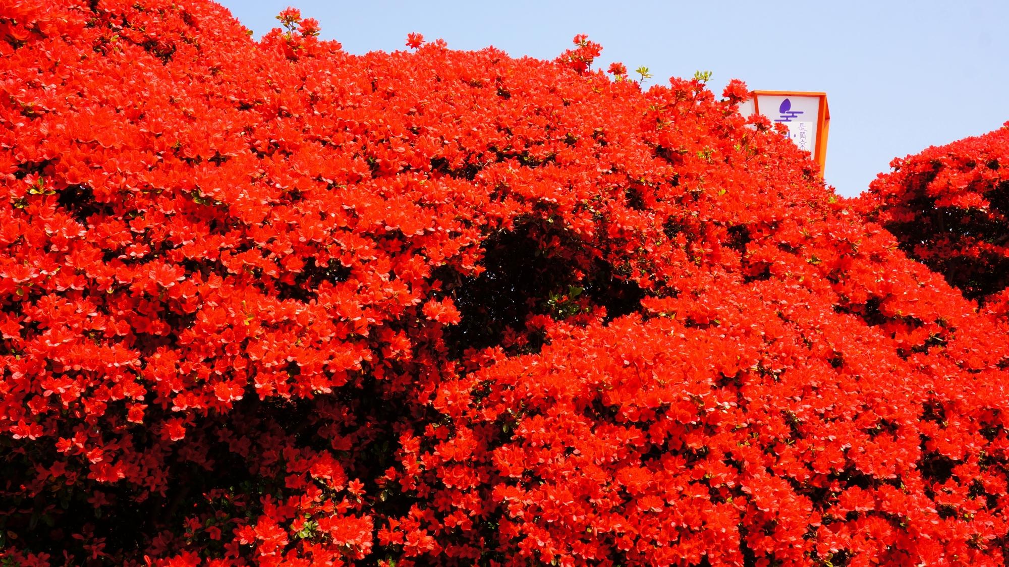 弾けんばかりに咲き誇る真っ赤な花