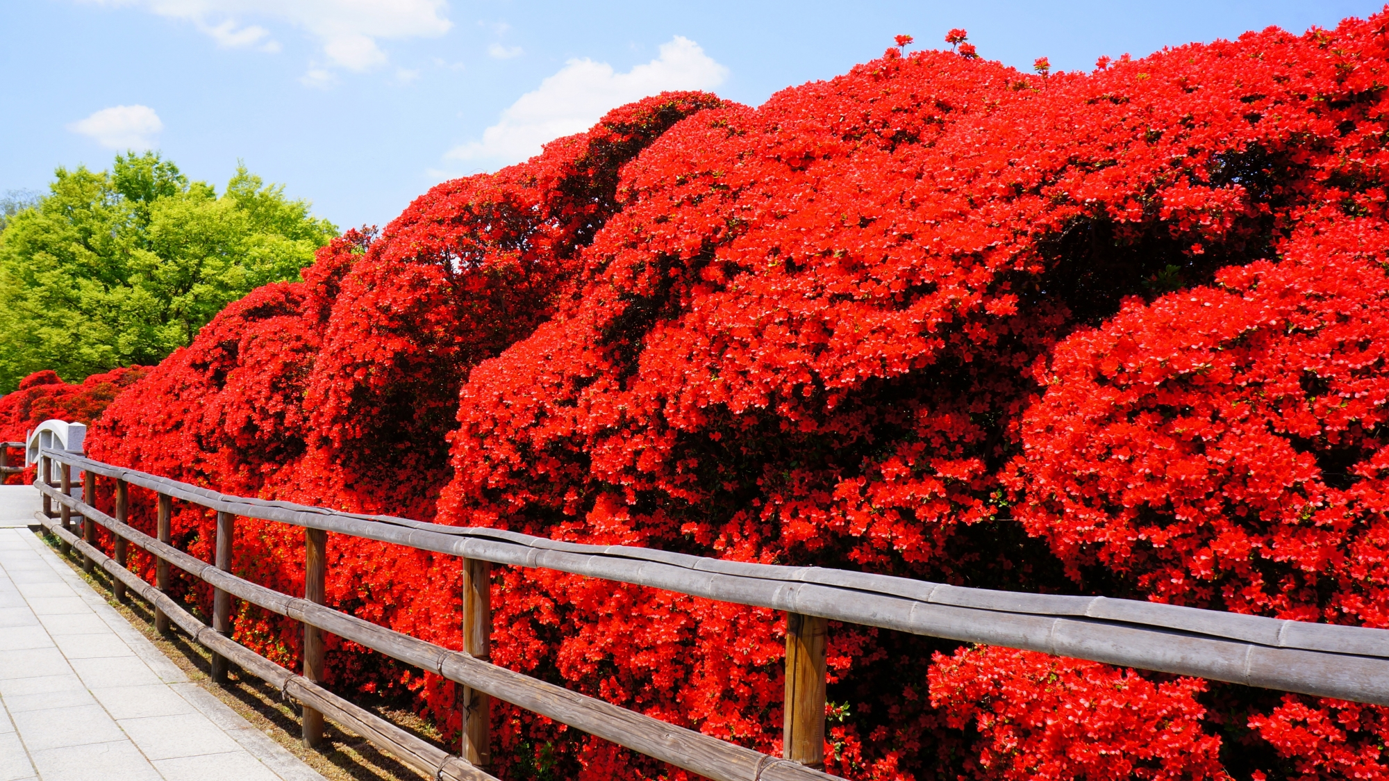 八条ヶ池に架かる赤い橋となるツツジの咲きそろった水上橋