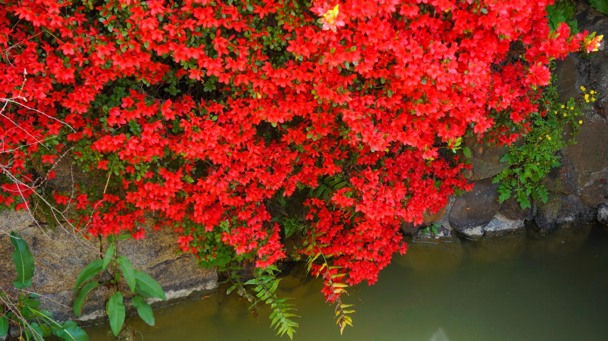 水面すれすれまで花が咲く八条ヶ池のきりしまつつじ