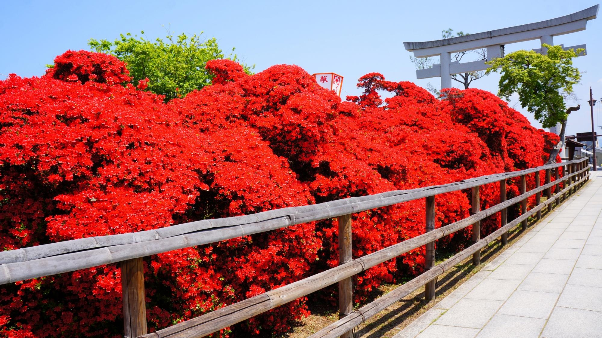 水上橋を鳥居に向かって覆う真っ赤なきりしまつつじ