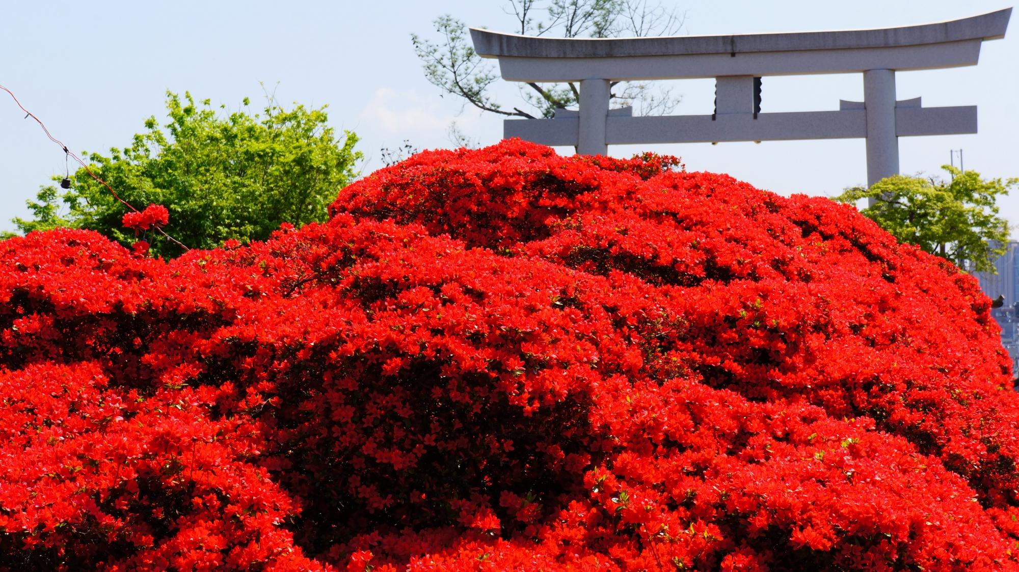 大鳥居と溢れ出す煌く真っ赤なつつじの花