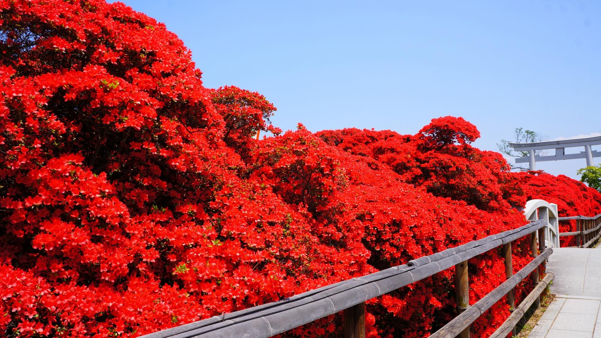 八条ヶ池の素晴らしい霧島躑躅(きりしまつつじ)と春の情景