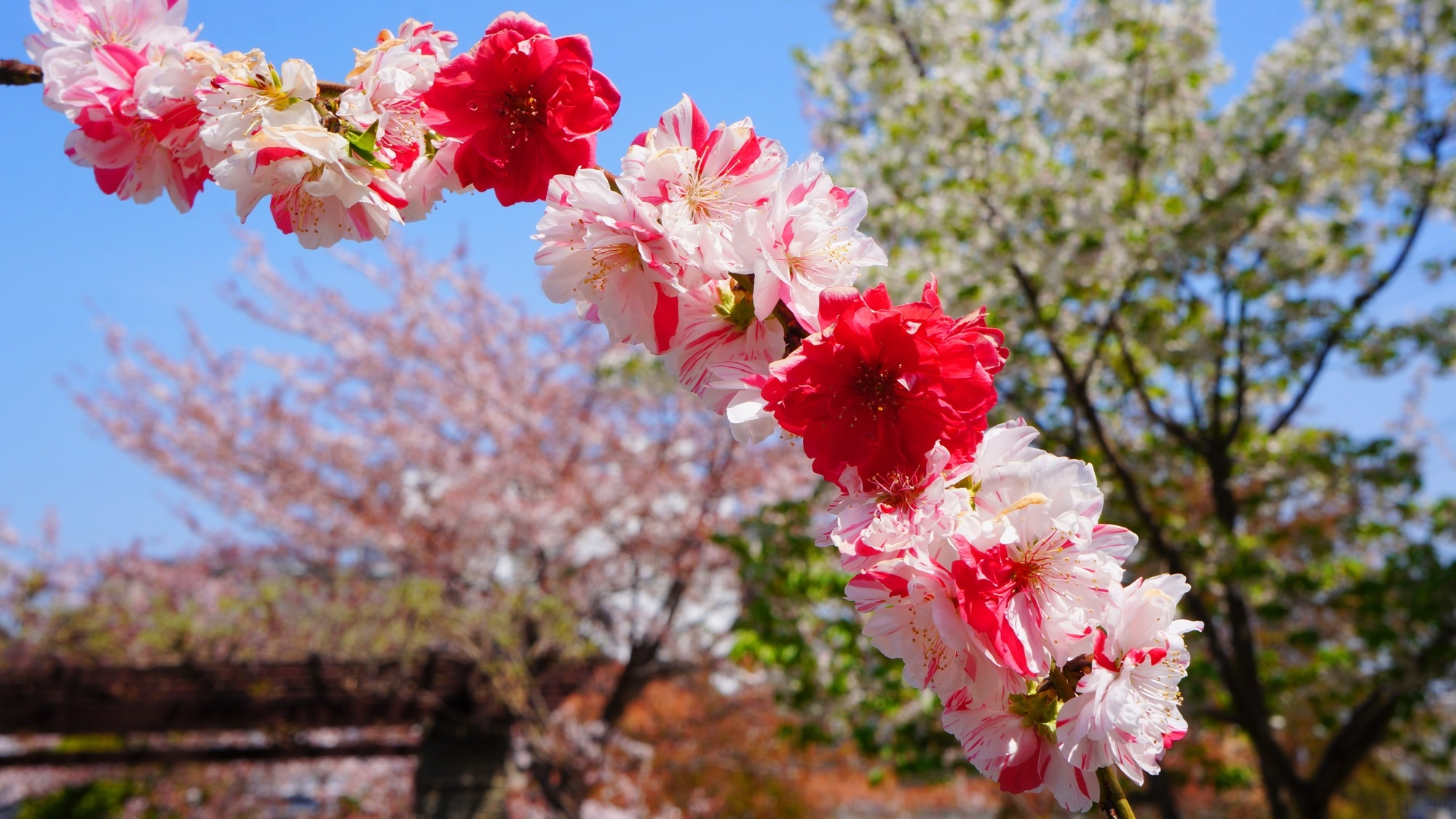 首途八幡宮 桃の花 源平枝垂れ桃と桜井公園の桜