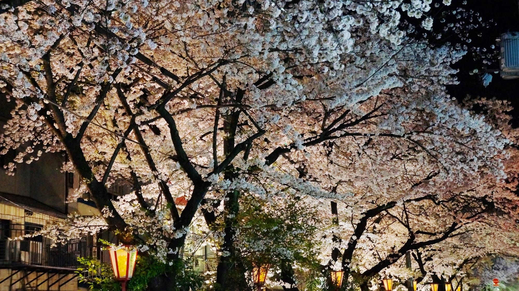 高瀬川と木屋町通 桜 ライトアップ 幻想的な夜桜