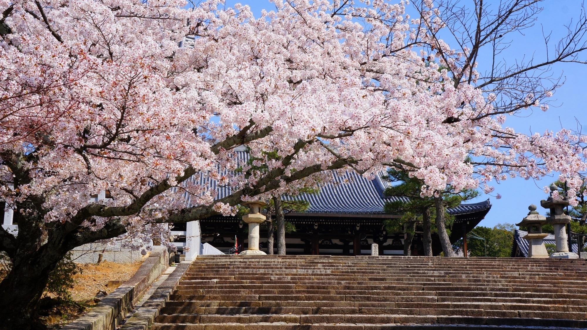 金戒光明寺 桜 絵になる時代劇風の豪快な桜