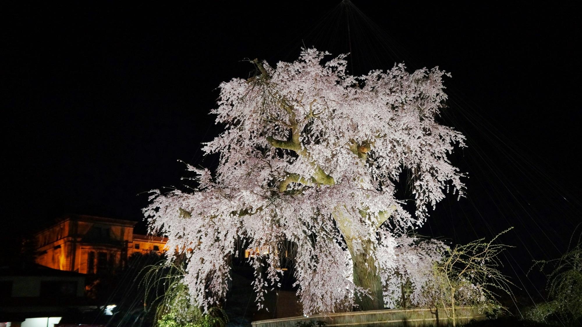 京都 円山公園 祇園枝垂桜 ライトアップ しだれ桜の巨木