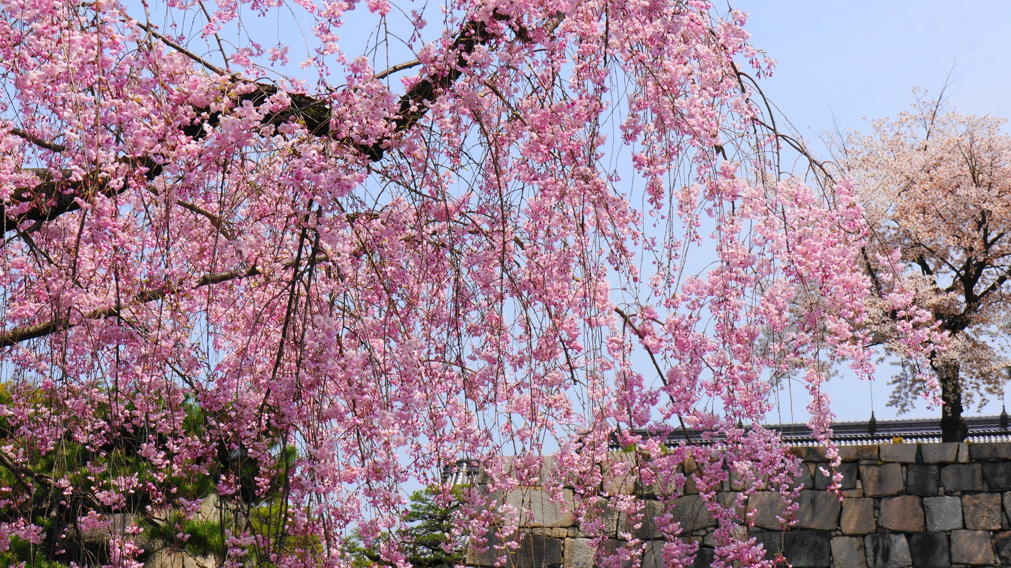 ピンクの桜にそまるお城