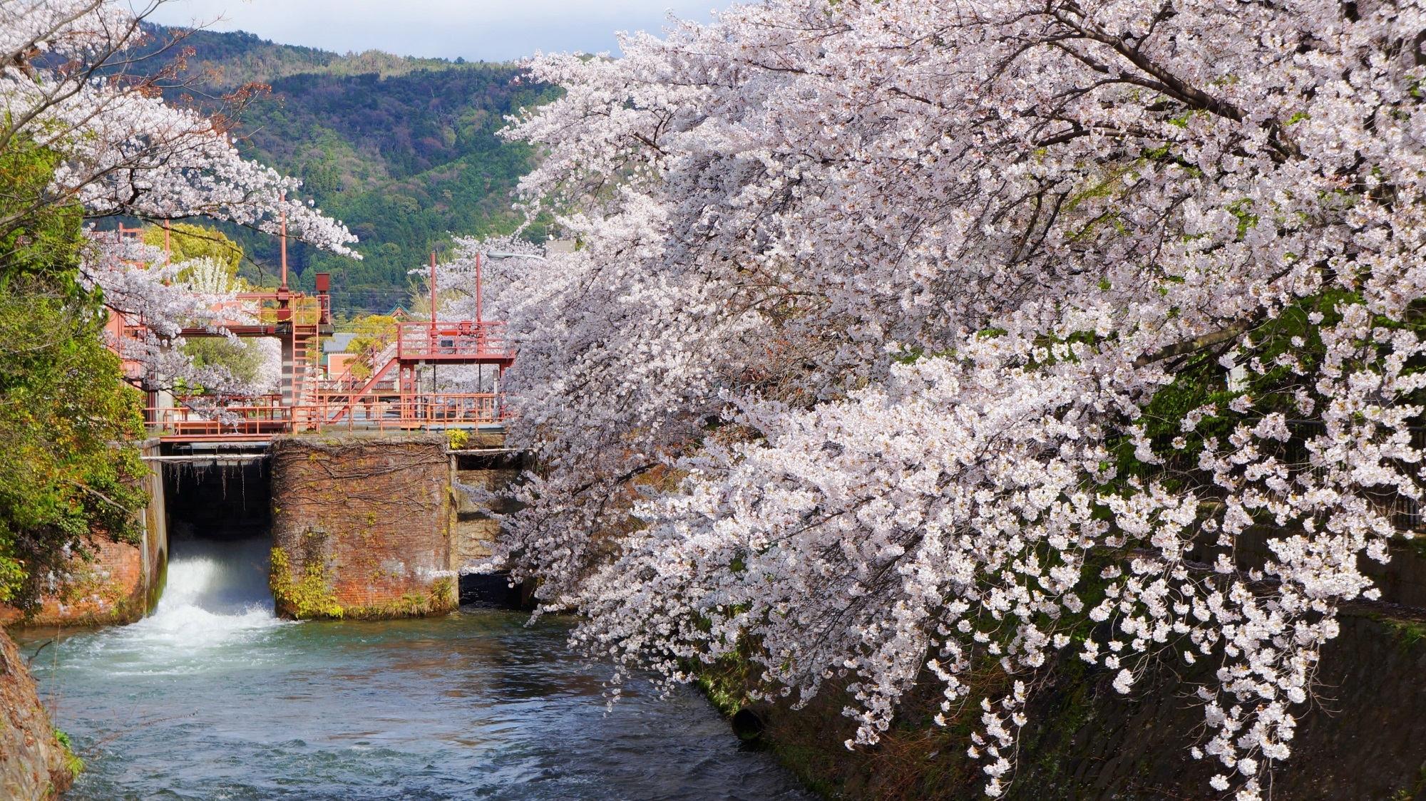 冷泉通 桜 琵琶湖疏水の豪快すぎる水辺の桜