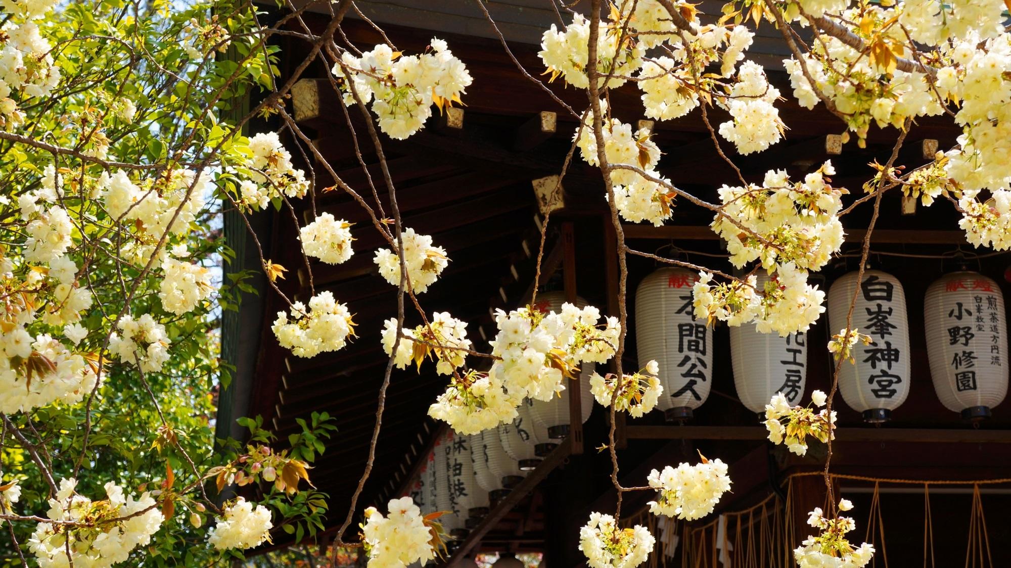 白峯神宮 黄桜 スポーツの神様の華やかな彩り
