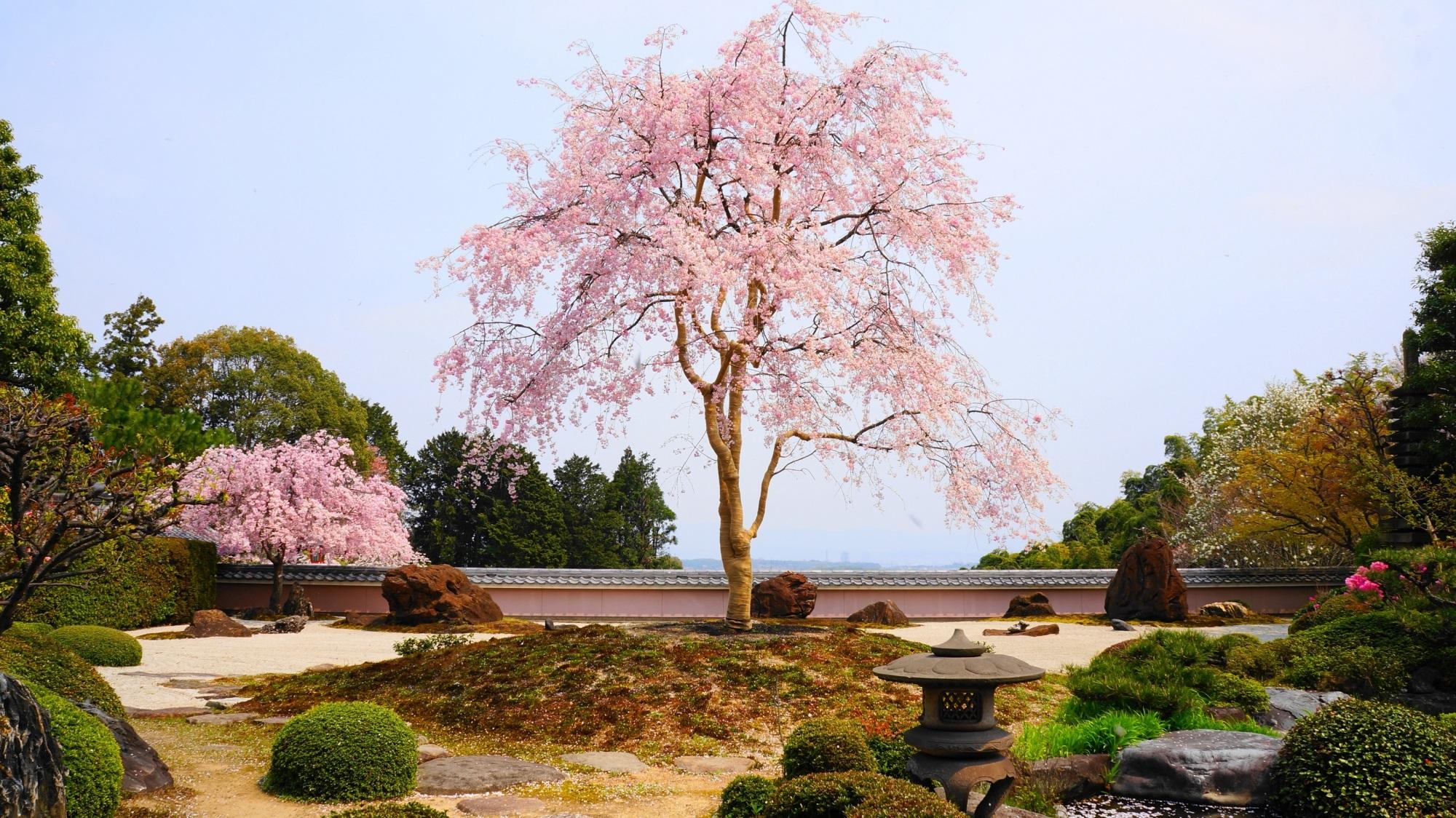 洛西の桜の穴場