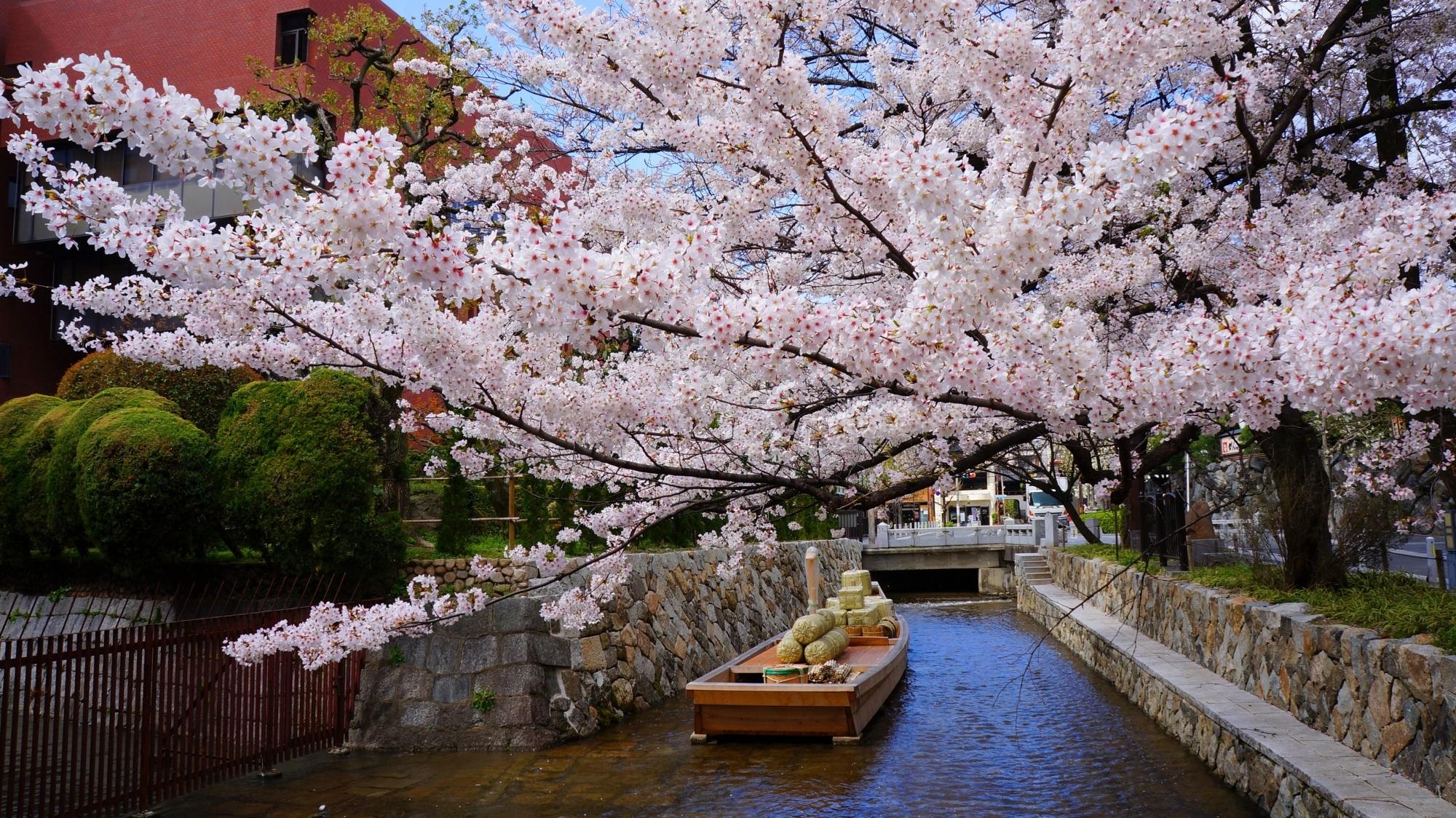 高瀬川一之船入 桜 絵になる水辺の風情ある桜