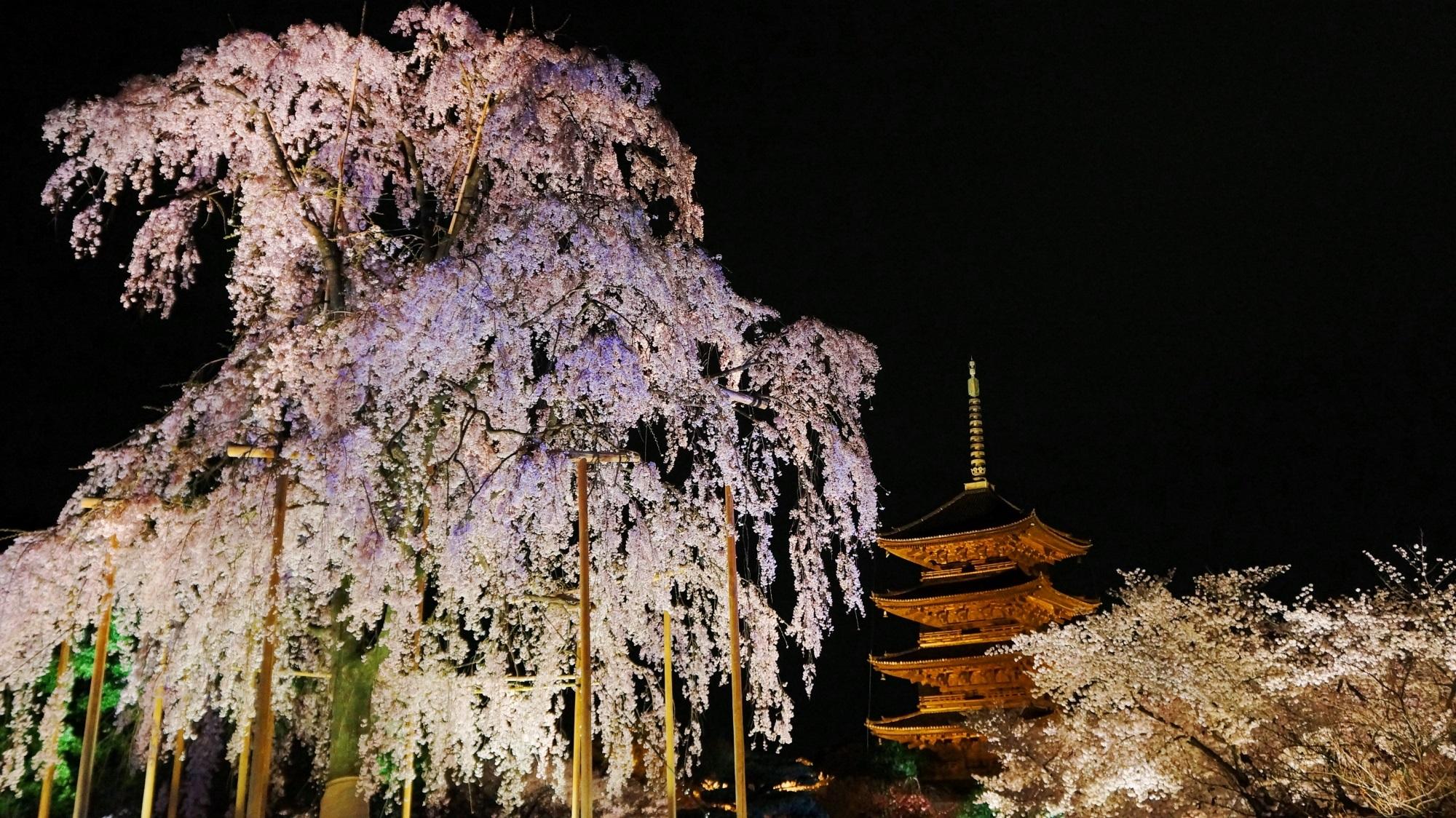 東寺 桜 ライトアップ 不二桜と華やかな夜桜