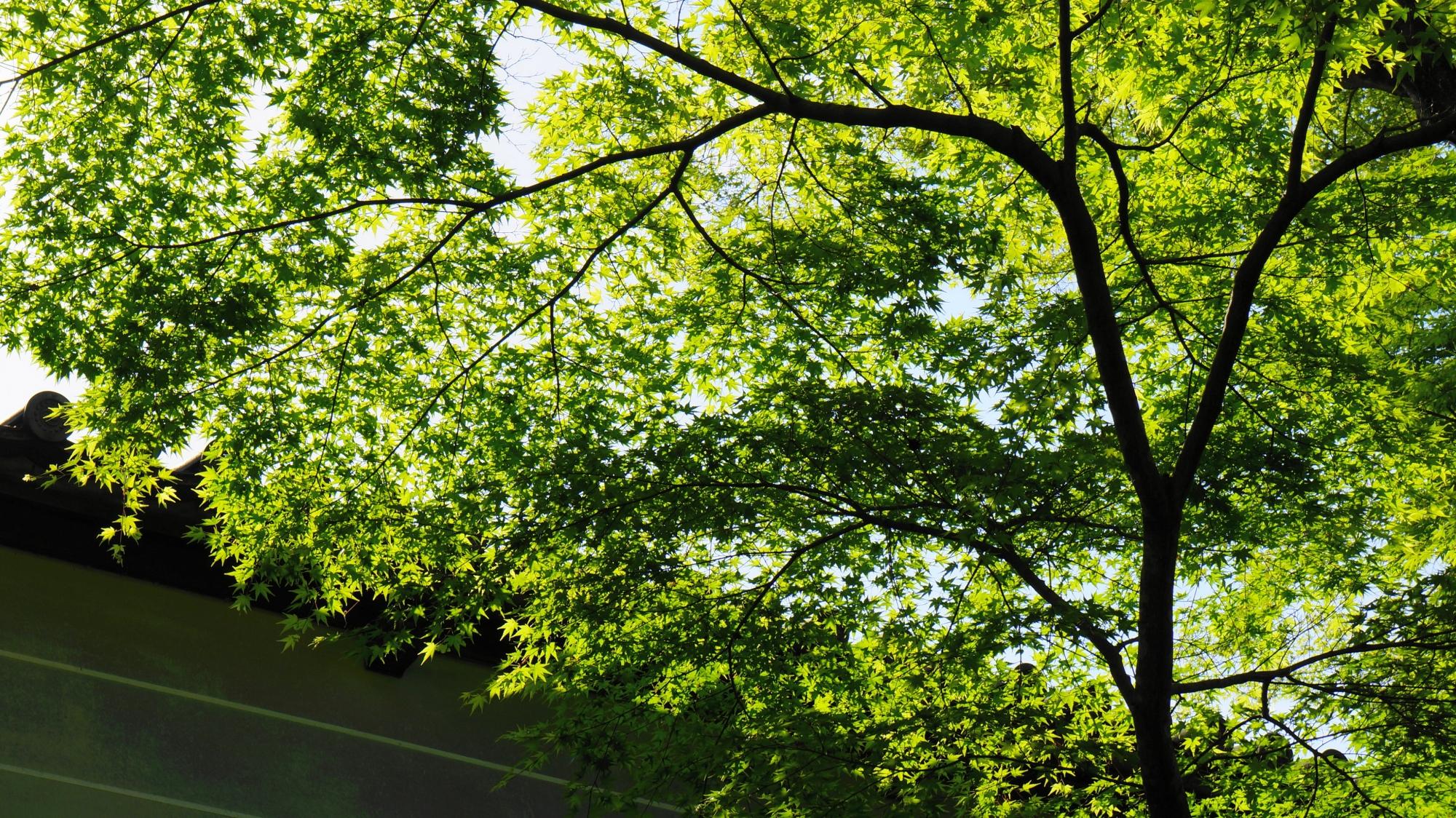 太陽を浴びて透けるように輝く新緑
