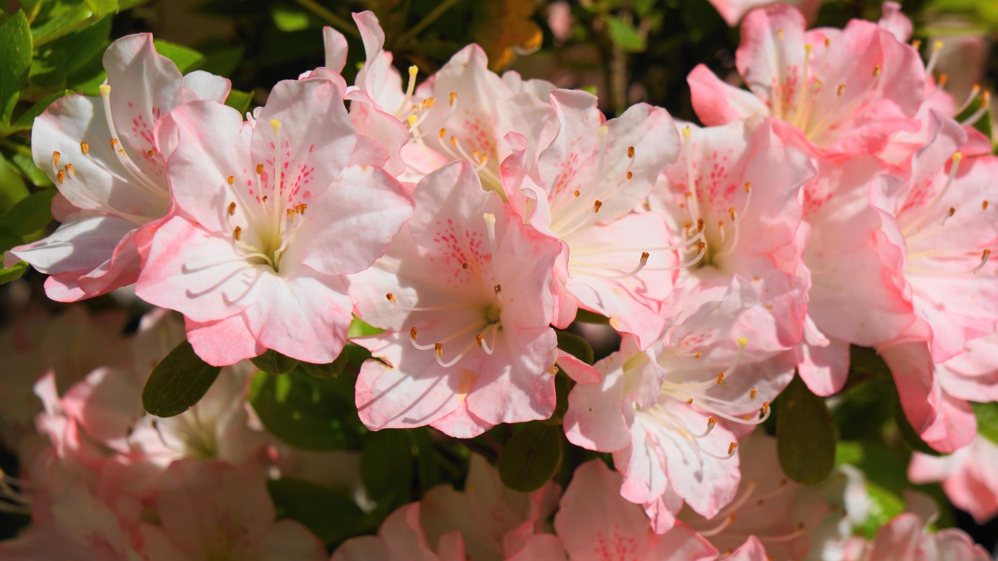 曼殊院門跡の春らしい薄いピンクのツツジの花