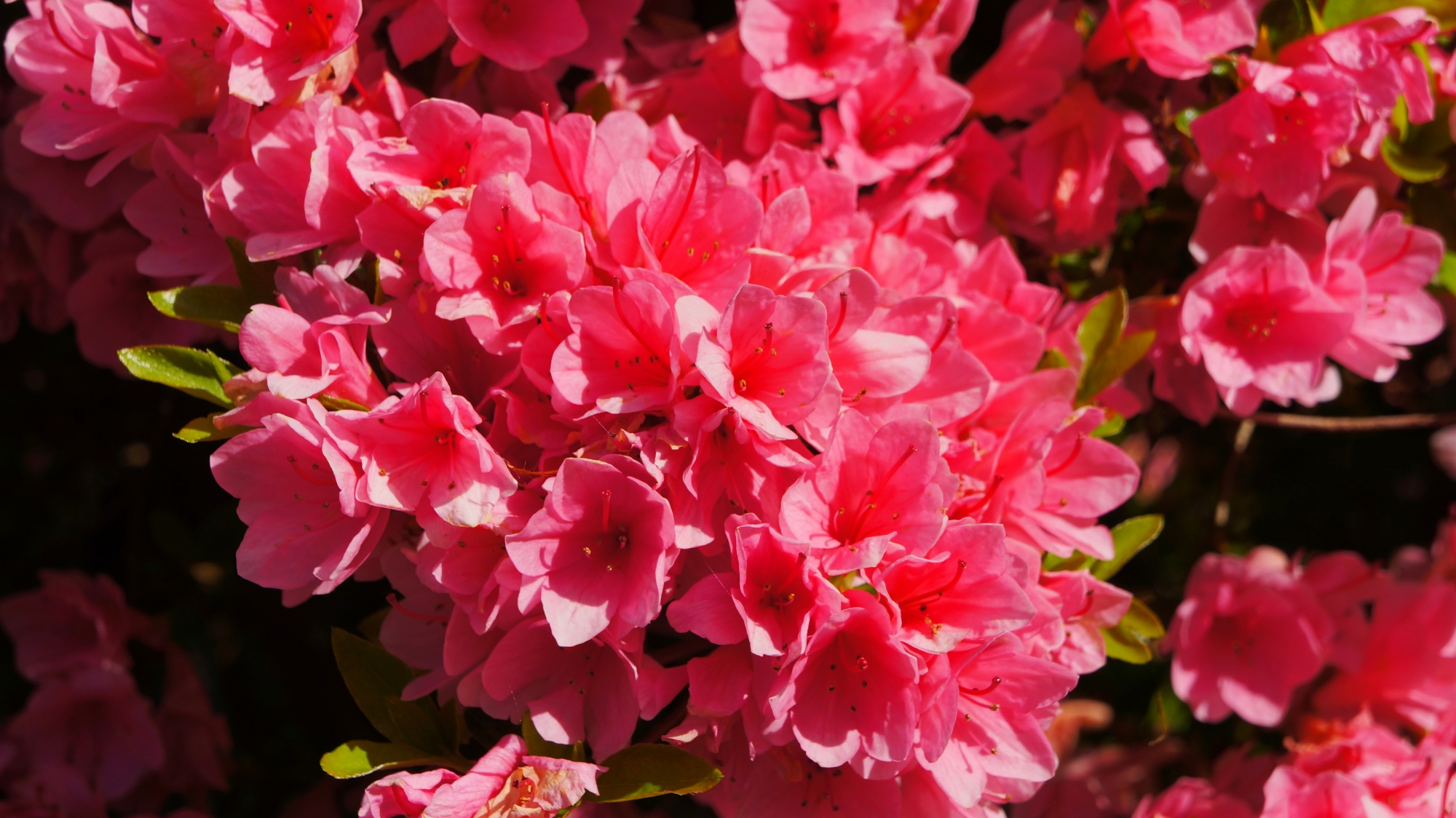 鮮やかな濃いピンクのツツジの花