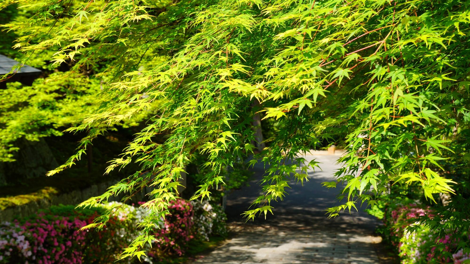 春の曼殊院を彩る絶品の新緑