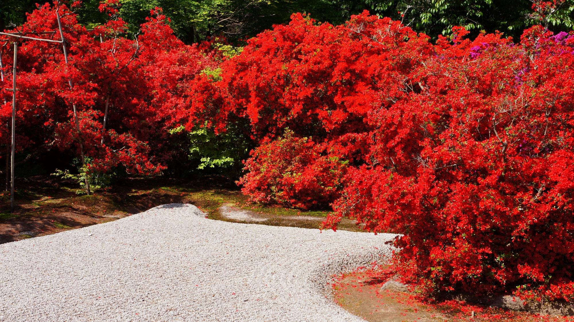 燃え上がるように赤く咲き乱れるキリシマツツジ