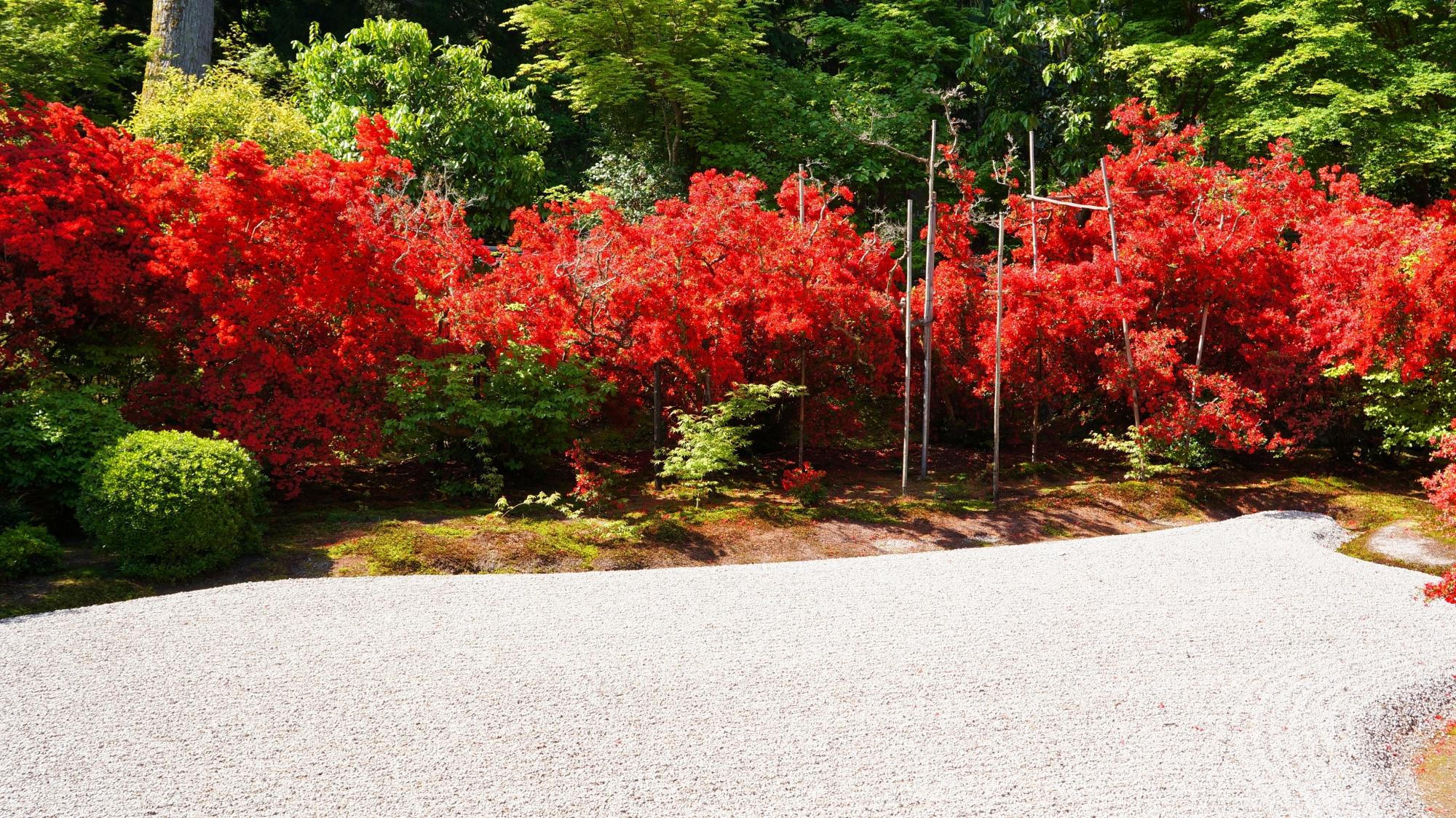 曼殊院の庭園を煌びやかに彩る真っ赤なキリシマツツジ