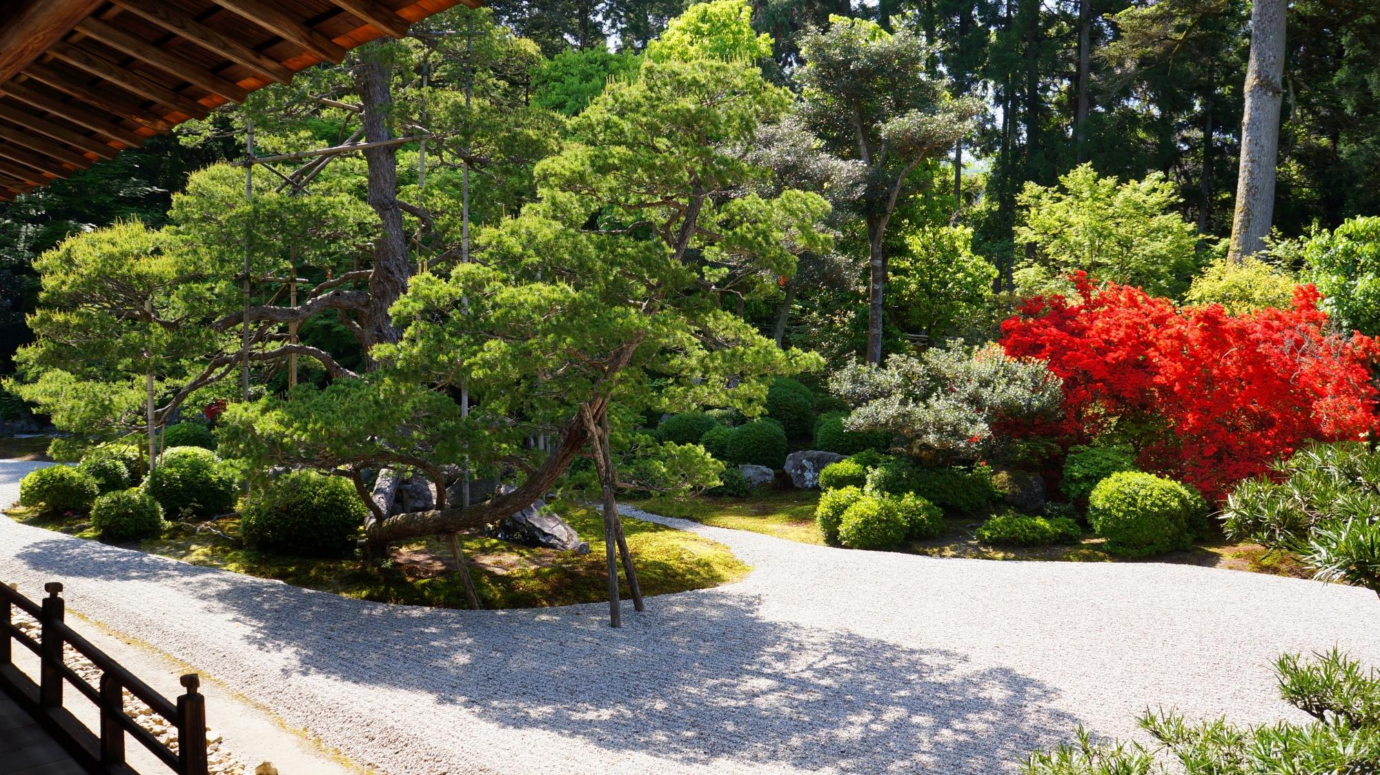 庭園の立派な松と鮮烈な赤さのキリシマツツジ