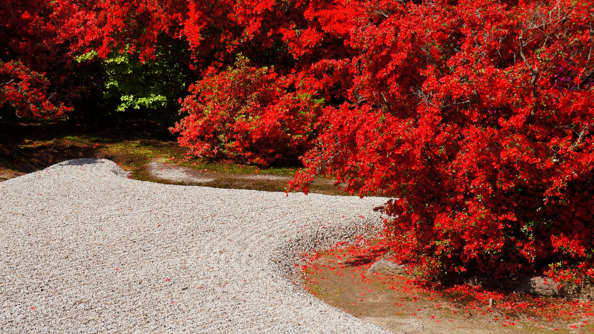 曼殊院の鮮やかなこぼれ落ちる霧島躑躅の花びら