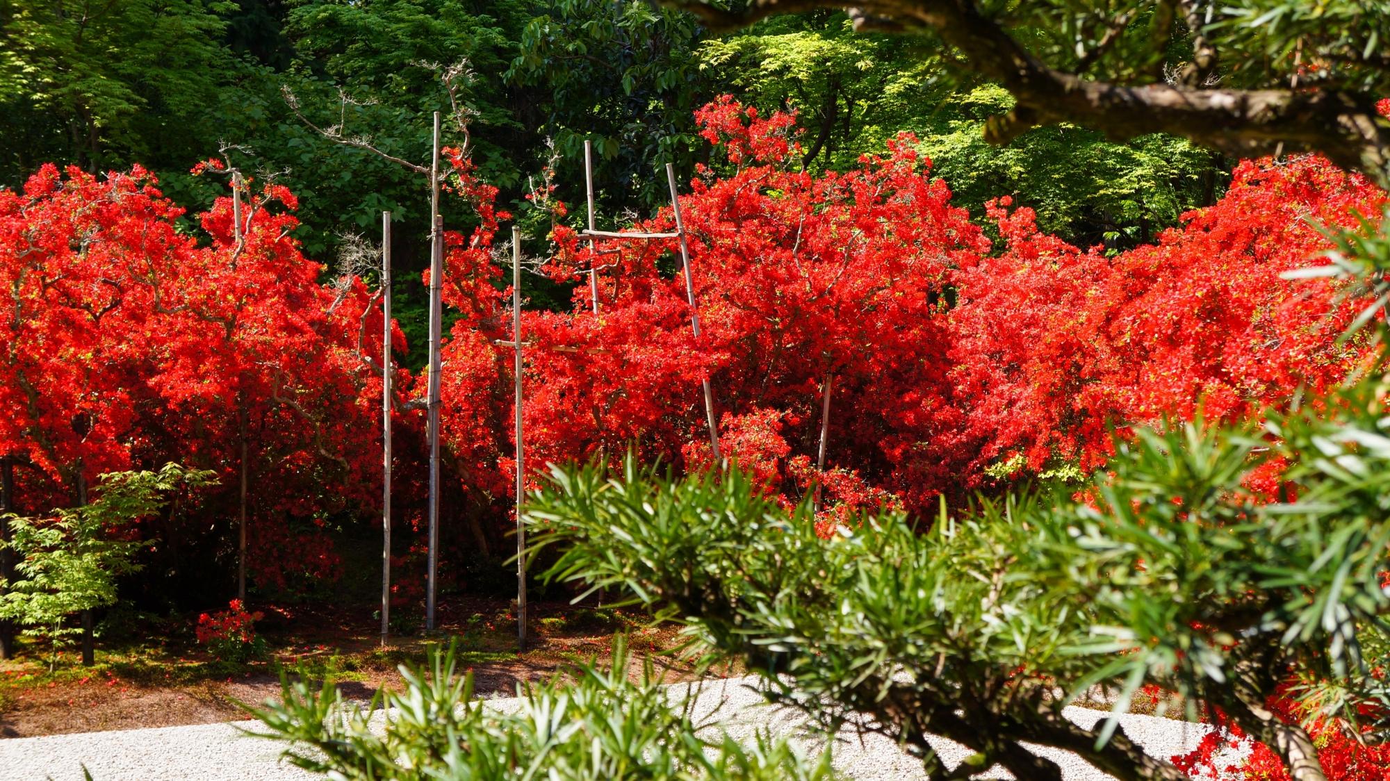背景と松の緑の中で弾ける真っ赤なツツジ