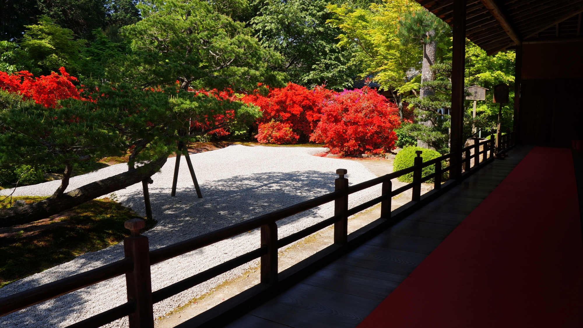 真っ赤に煌くキリシマツツジにそまる春の曼殊院