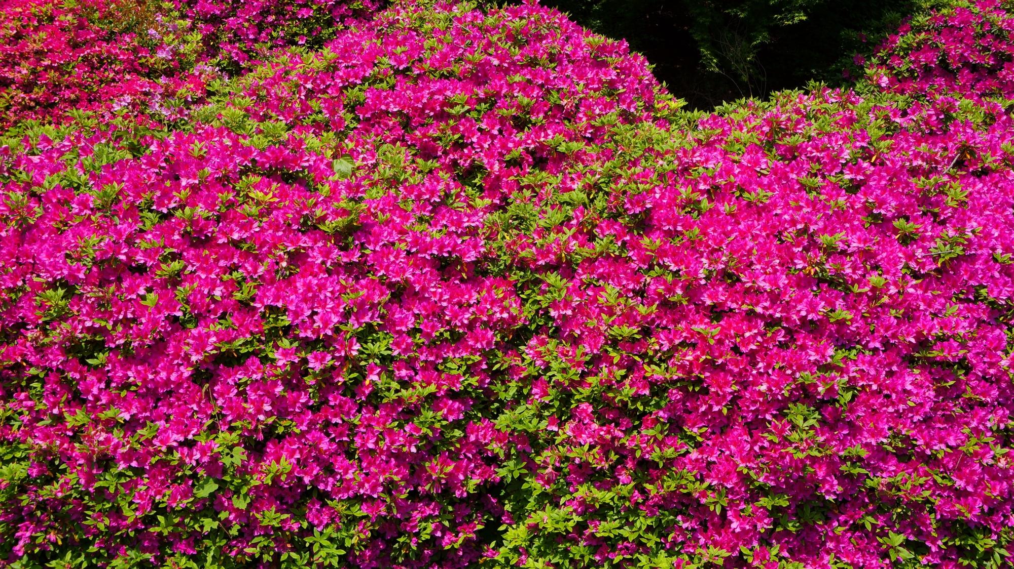 太陽を浴びて輝く紫のツツジの花