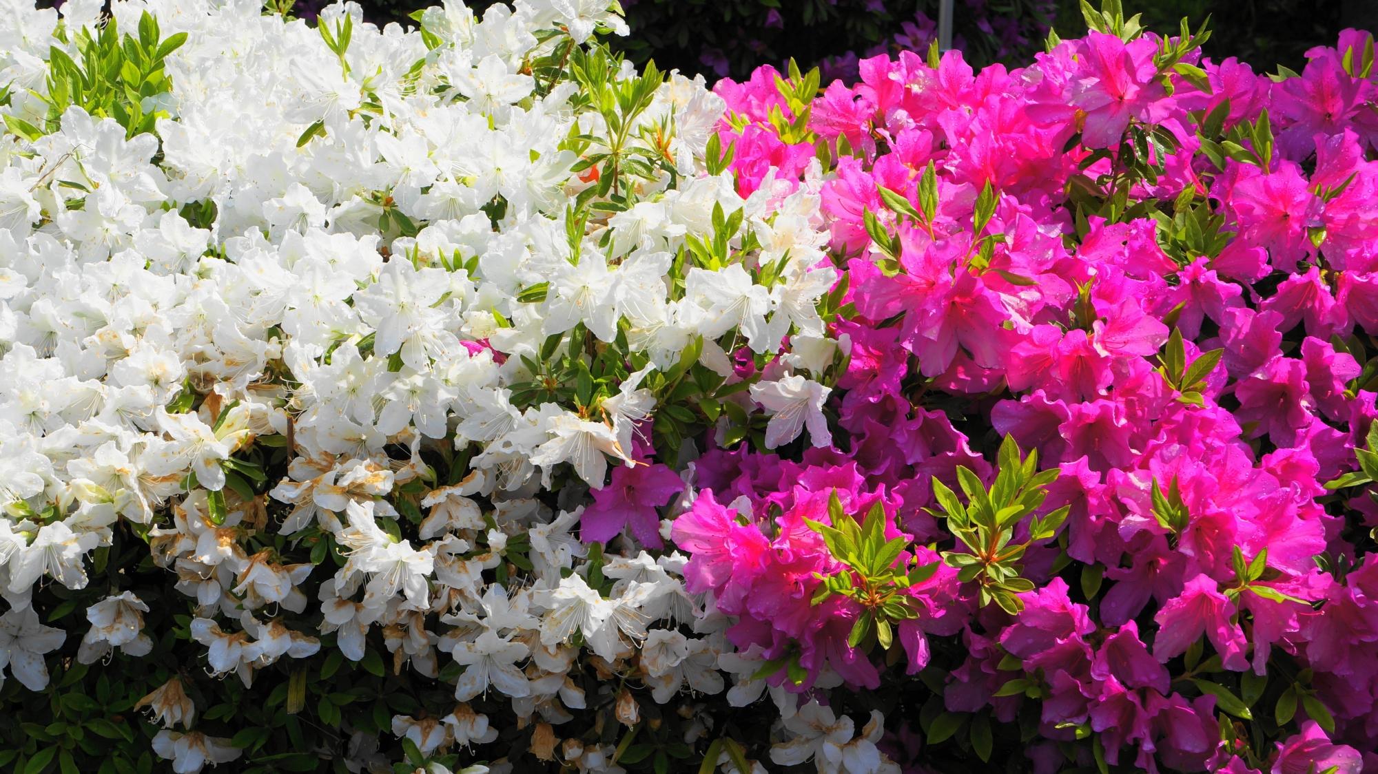 白と紫のいかにもツツジっぽい色の競演