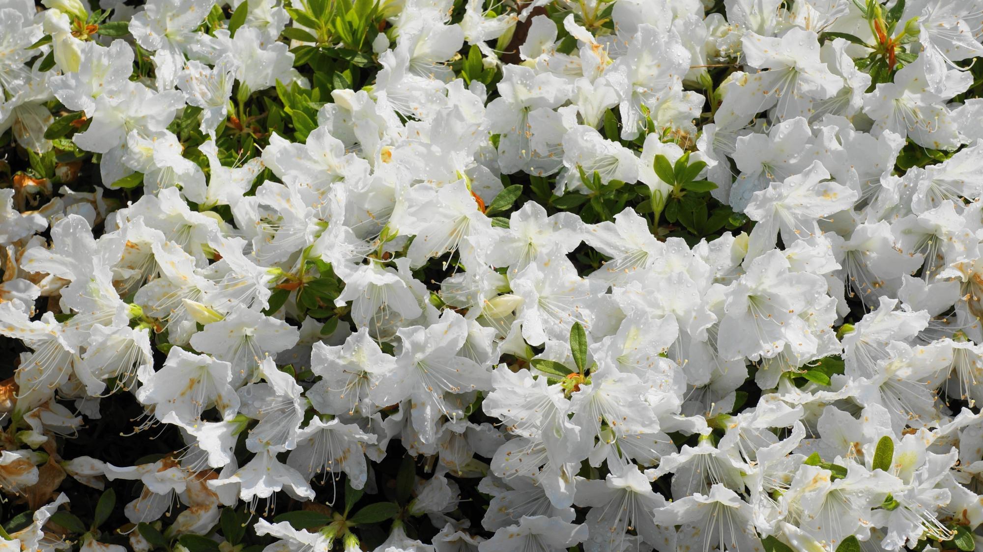 蹴上浄水場の溢れ出す真っ白なツツジの花