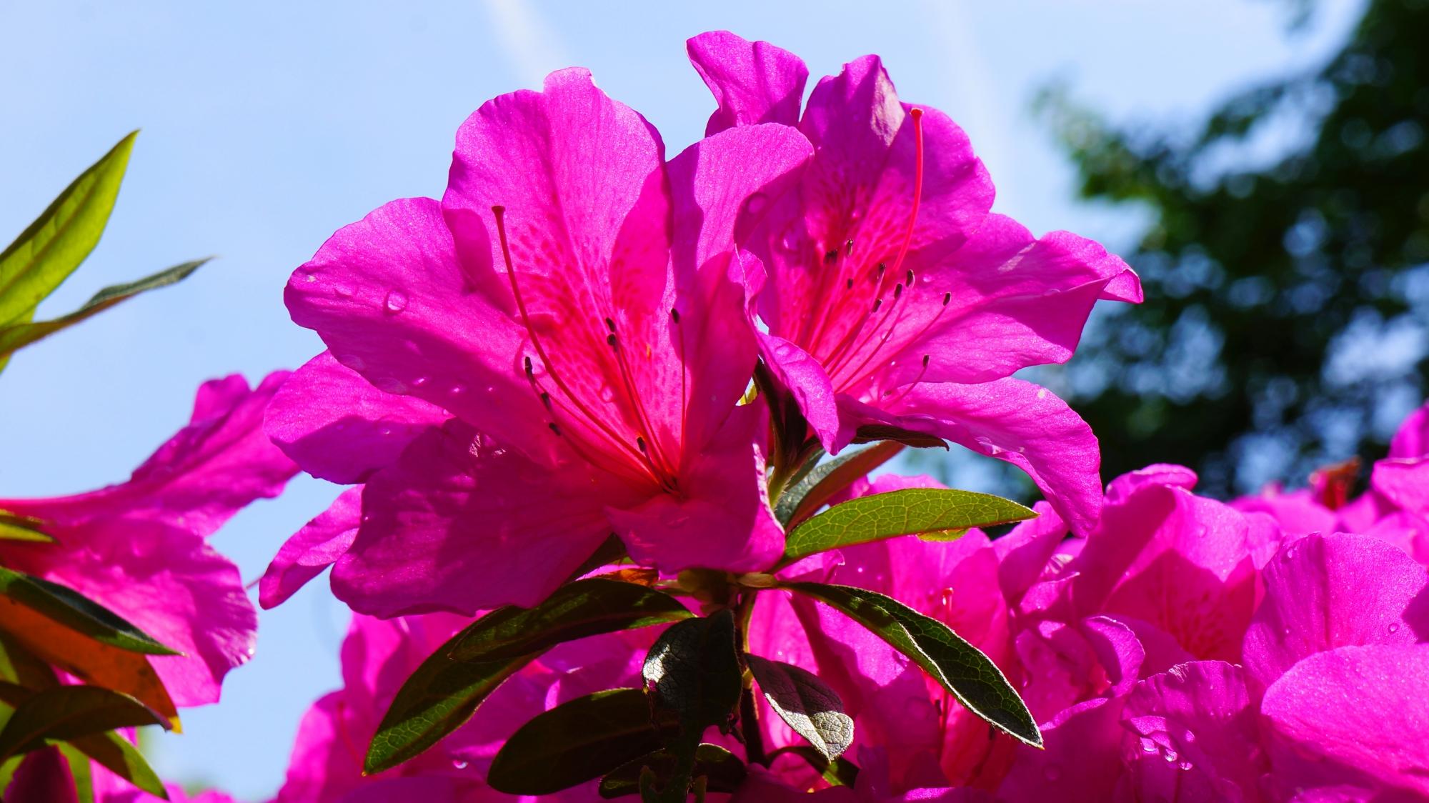 日が当たり透き通る綺麗なツツジの花