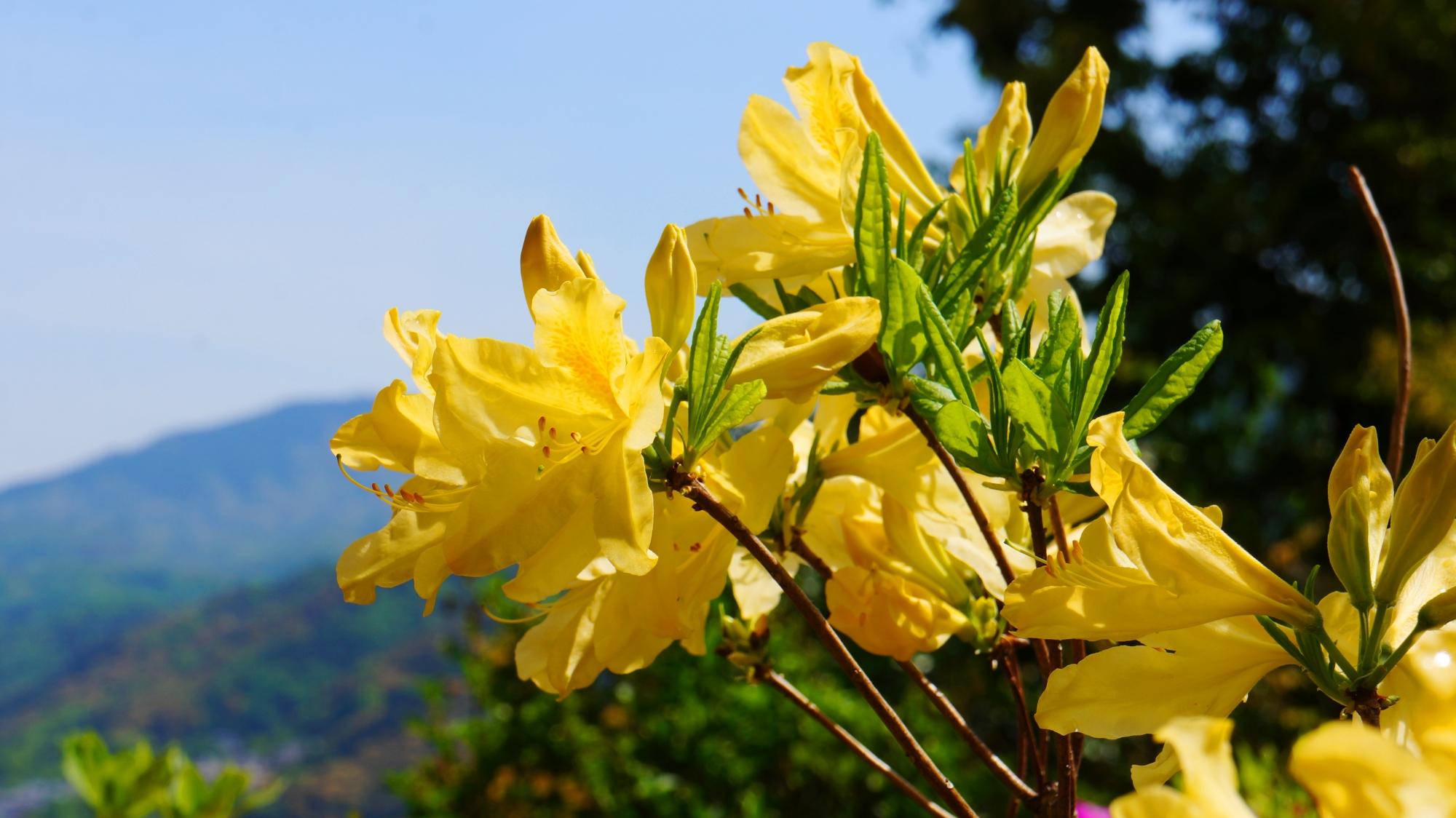 春らしい華やかな黄色のレンゲツツジ