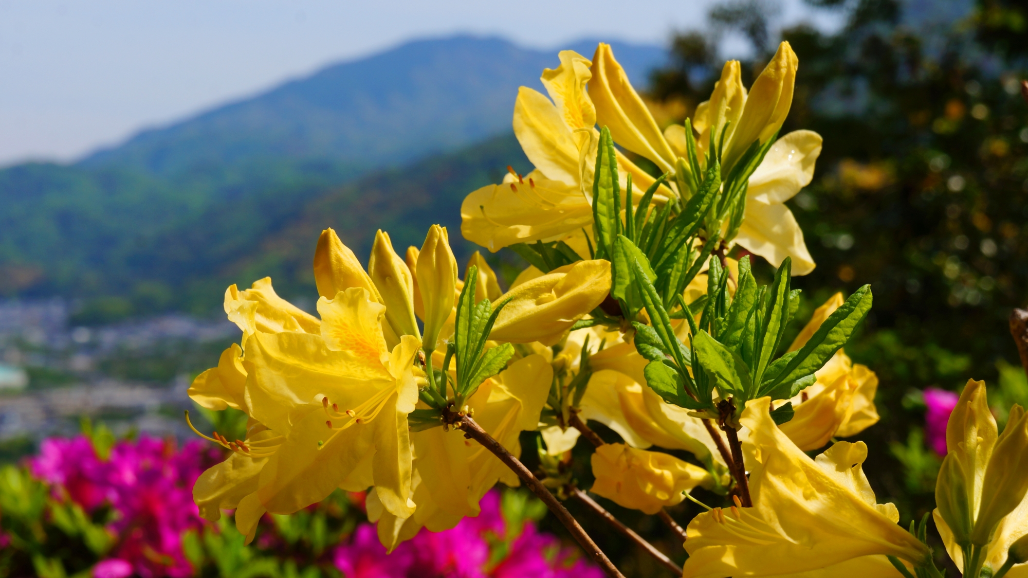 山を背景にした黄色いレンゲツツジ