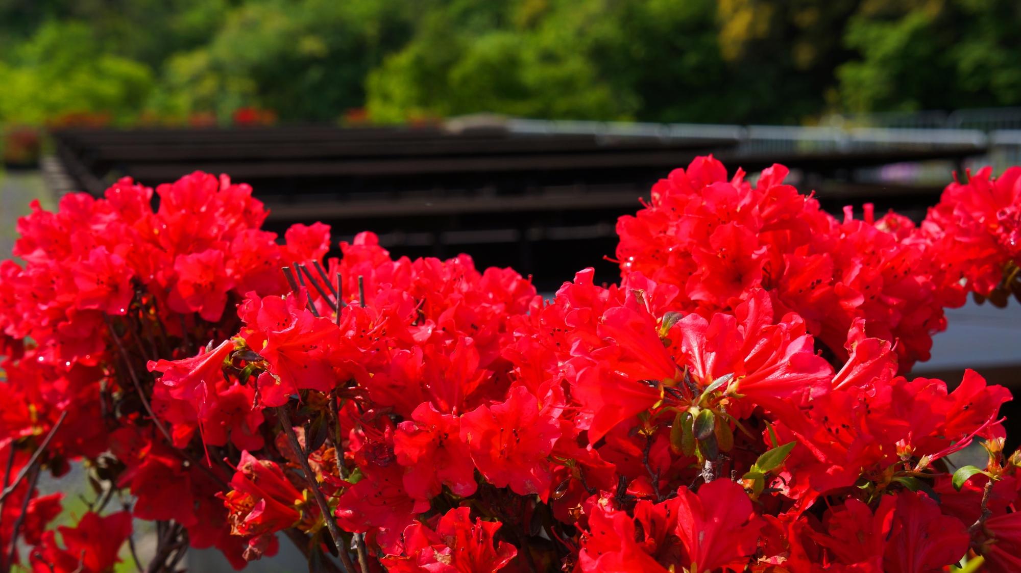 鮮烈な赤色の花を咲かせる蹴上浄水場のきりしまつつじ