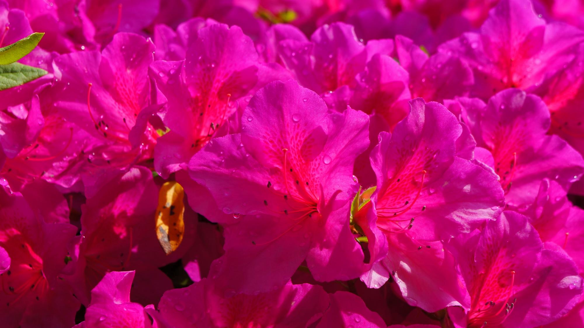 鮮やかに咲き乱れる紫のツツジの花
